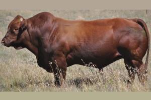 Big-Bonsmara-bull-south-africaGZV10-302