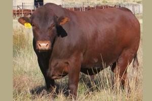 Bonsmara-bull-south-africa-GZV09-101