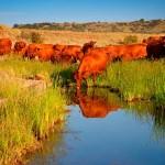 Bonsmara-cattle-south-africa-gallery-1