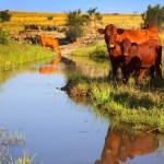 Bonsmara-cattle-south-africa-gallery-2