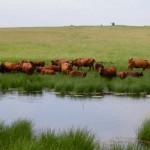 Bonsmara-cattle-south-africa-gallery-3
