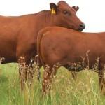 Bonsmara-south-africa-cattle-2