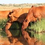 Bonsmara-south-africa-cattle-4